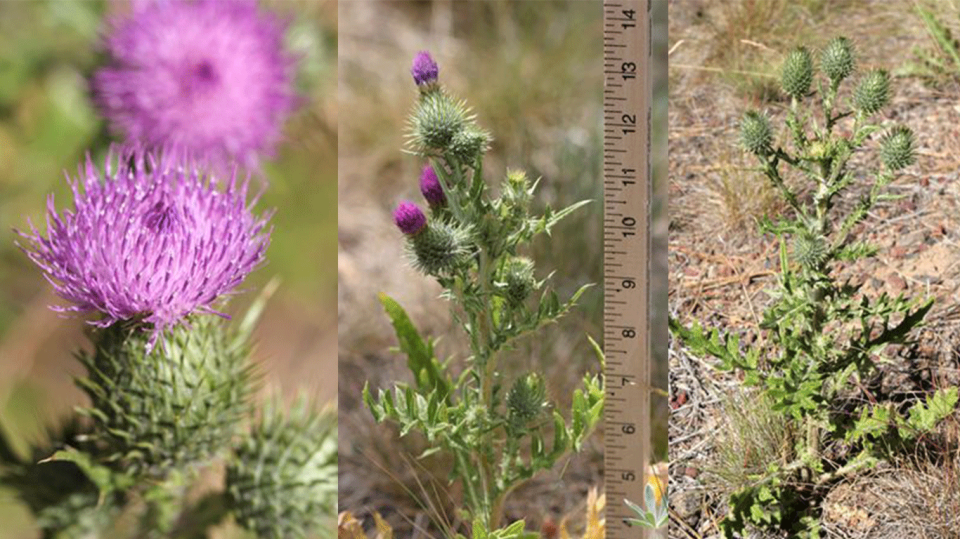 bull thistle is a noxious weed that is prickly and is often growing along roadsides
