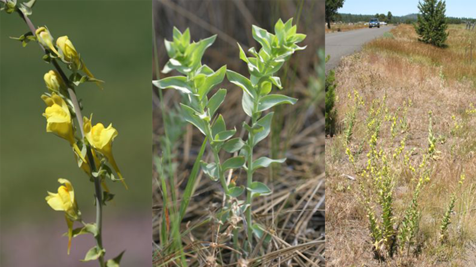 ToadFlax is a noxious weed found in Sunriver
